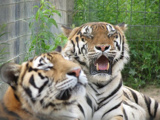 Penns Creek, Pensilvania: These tigers were confiscated from a cruel tiger cub photo-op business which planned to kill the