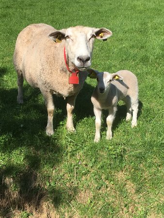 Nordic Ventures: Sheep showing some interest in us hikers :)