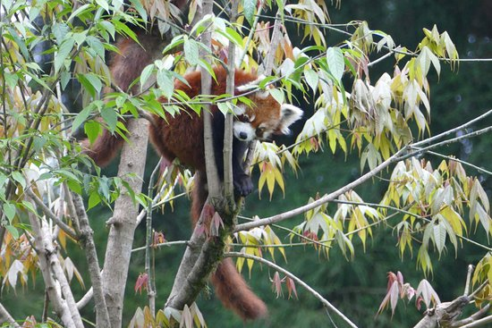 Himalayan Zoological Park: Red Panda in a tree
