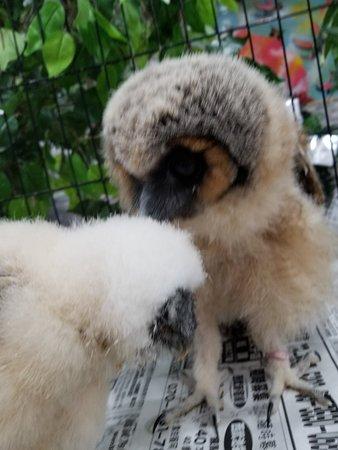 Owlpark Owl Cafe Ikebukuro tokyo: あうるぱーくフクロウカフェ池袋でフクロウの雛だいちゃん&メガネフクロウ