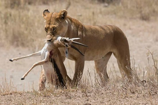 Tanzania Serengeti Adventure Ltd: KILL