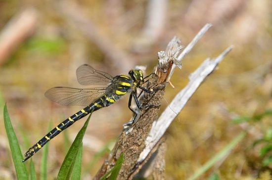 Enjoy Mull: golden ringed dragonfly