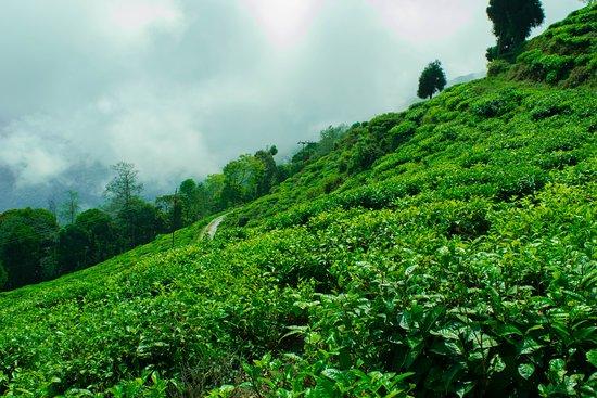 Lamahatta, India: Tea garden around Pine Haven resort