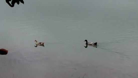 Manipal Lake: Pair of ducks enjoying the rain and lake