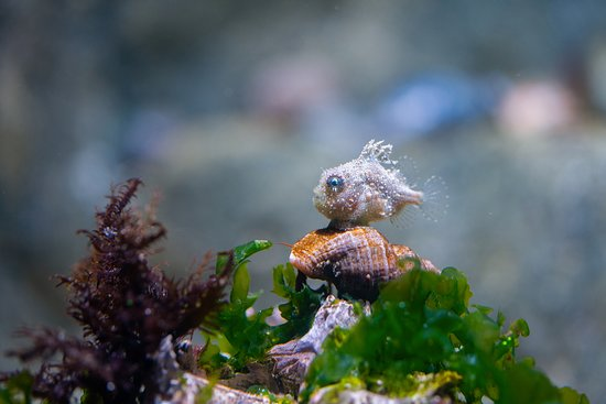 Loveland Living Planet Aquarium: Pacific spiny lumpsucker