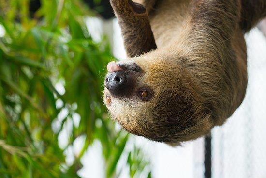 Loveland Living Planet Aquarium: Linnaeus's two-toes sloths