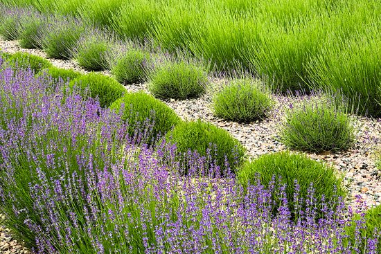 Summerhouse Lavender Farm is a must visit local treasure! A peaceful