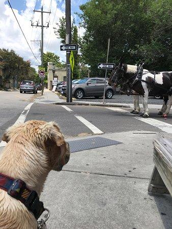 Charleston's Historic Residential Carriage Tour: Otis watching the horses