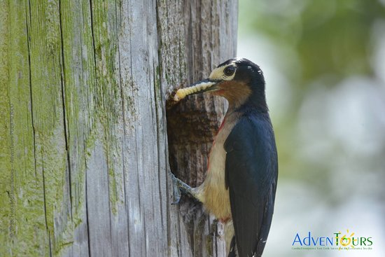 AdvenTours Puerto Rico: We offer private island wide birding trips including El Yunque National Forest.