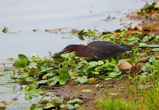 Cano Negro, Costa Rica: Green heron.