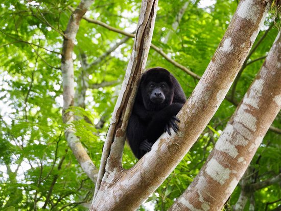 Cano Negro, Costa Rica: Resident howler monekys.