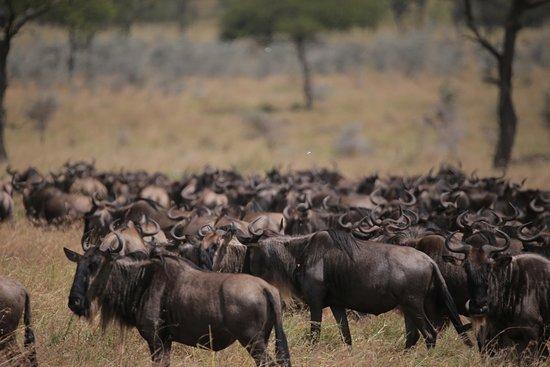 Furahia Tanzania Safari & Trekking Ltd: 遇到角马迁徙