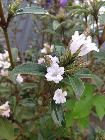 Villa Retreat: Kurunji Flower blossoms once in 12 yrs