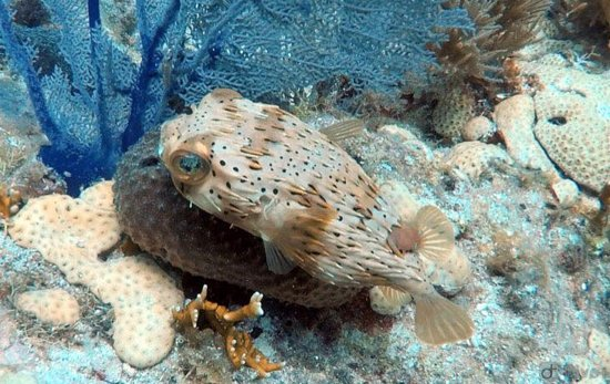 Rainbow Reef Dive Center: puffer fish!