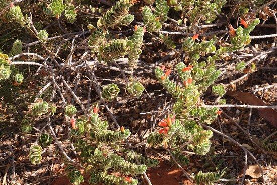 Australian Arid Lands Botanic Garden: More flowers