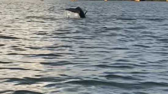 Naples Kayak Adventures: Dolphins showing off