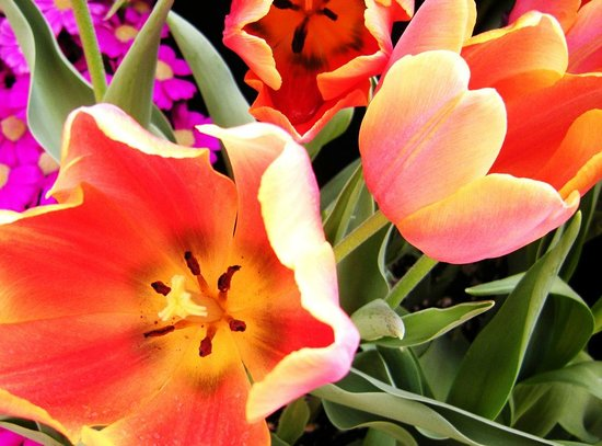 Buffalo and Erie County Botanical Gardens: Tulips in Spring
