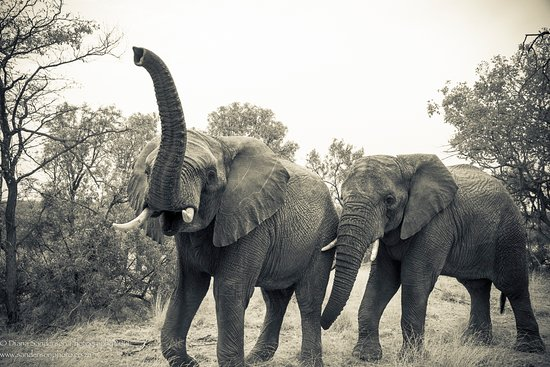 Adventures with Elephants: doing scenting and communication between the Elephants