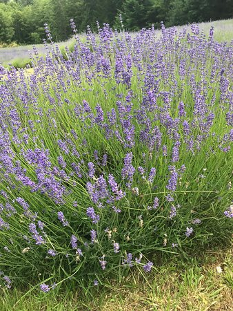 Salt Spring Island, Canada: English Lavender in bloom
