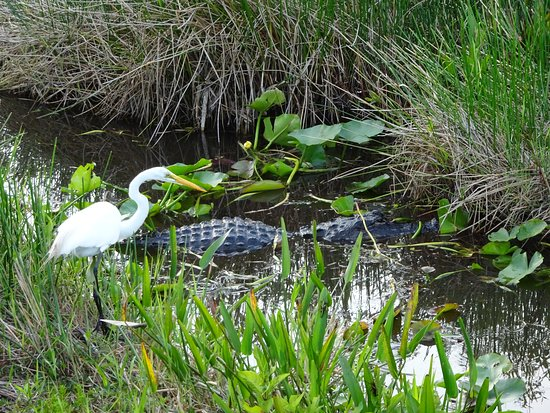 Anhinga Trail: Nervous bird looking for fish while watching the alligator. He eventually got a catch and got aw