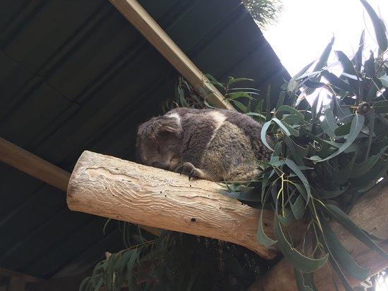 Grantville, Australia: Koala @ Maru