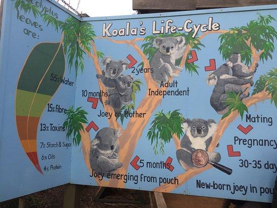 Grantville, Australia: Info on Koala