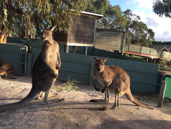 Grantville, Australia: Free roaming Kangaroos