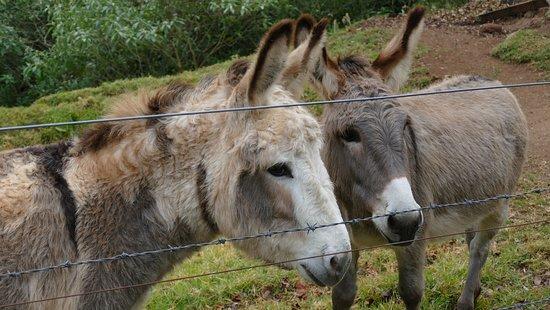 Killarney, Australia: You can feed the donkeys carrots!