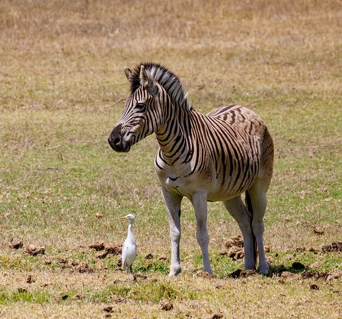 Remhoogte Wine Estate: One of Zebra's enjoying the summer sun.