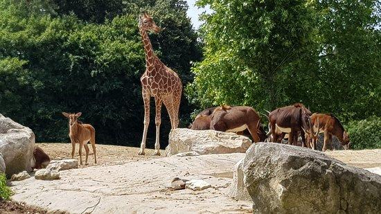 Hopp over linjen: ZooParc de Beauval inngangsbillett: savanne