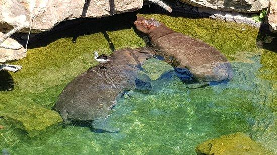 Hopp over linjen: ZooParc de Beauval inngangsbillett: Hipopotames