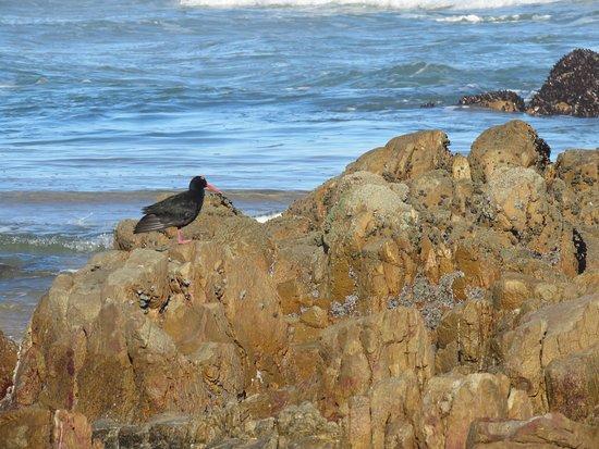Noetzie, Sydafrika: Black Oystercatcher on the rocks