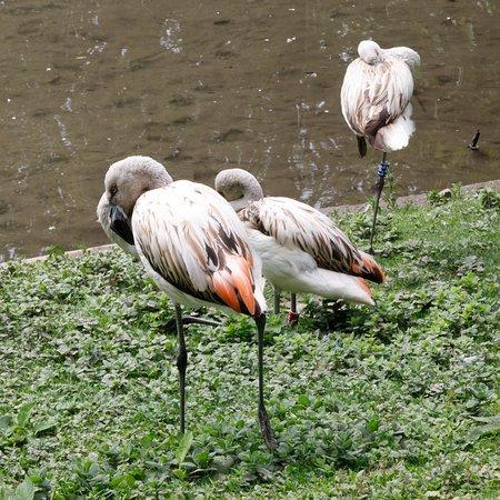 Cleres, Francia: Juvenile Flamingoes