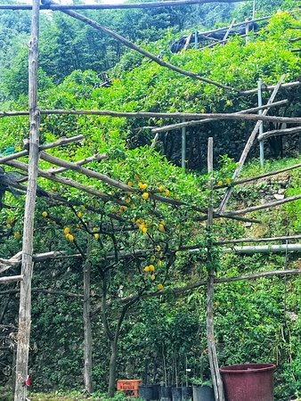 Amalfi Lemon Experience: View of some of the lemon trees!