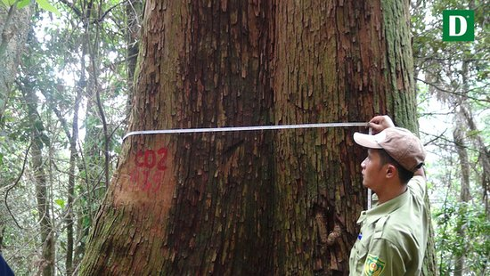 Luxury Travel: Cunninghamia - Sapin Indochinois Su Mu Pu Hoat nature Reserve