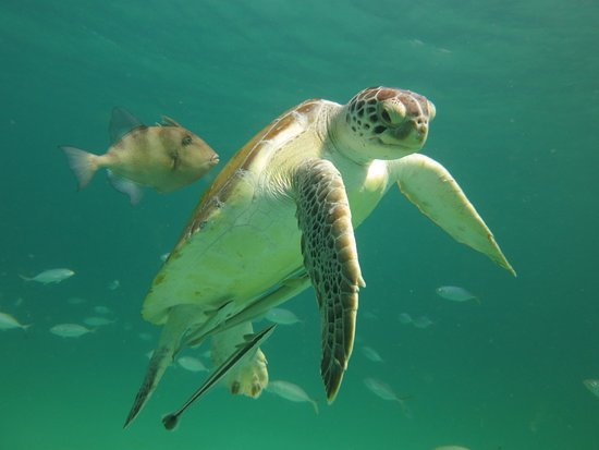 Navarra, FL: Resident green sea turtle and Trigger fish