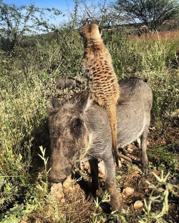 Meerkat sitting on a Warthog...Animal Friends