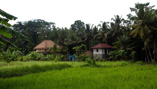 Umajati Retreat: Rice fields close by the villas
