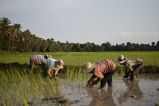 Jayakiri Angkor Travel & Tours: Cambodian farmers are transplanting rice.