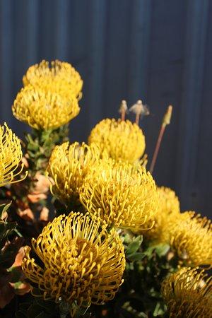 Pinscushion // Leucospermum High Gold, Yelverton Protea Farm