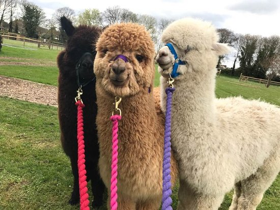 Woodland View Alpacas: Handsome boys