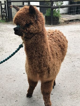 Woodland View Alpacas: Monty