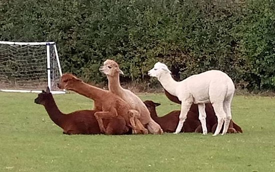 Woodland View Alpacas: Practice session!
