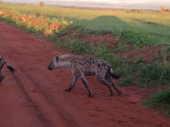 Bowi Africa Tours And Travel: hyena seen on a morning drive with bowi tours