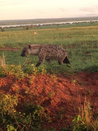 Bowi Africa Tours And Travel: hyena on a morning game drive bowit tours