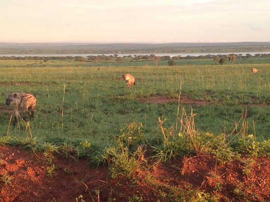Bowi Africa Tours And Travel: hyenas seen from a far with bowi tours