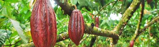Sjakie's Chocolademuseum: als je het museum binnenkomt lijkt het alsof je een stap doet in het regenwoud