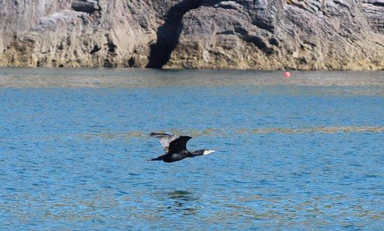 Devon Sea Safari: Cormorant in flight
