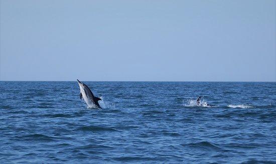 Devon Sea Safari: Short Beaked Common Dolphin