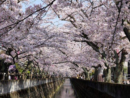 Jushigawa no Sakura Namiki